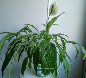 vodeni-ljiljan-biljka