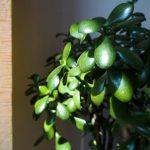 Feng shui biljke