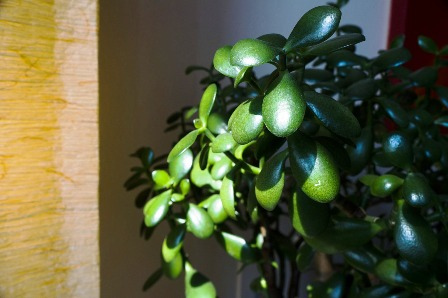 Feng shui biljke za ljubav, novac, harmoniju